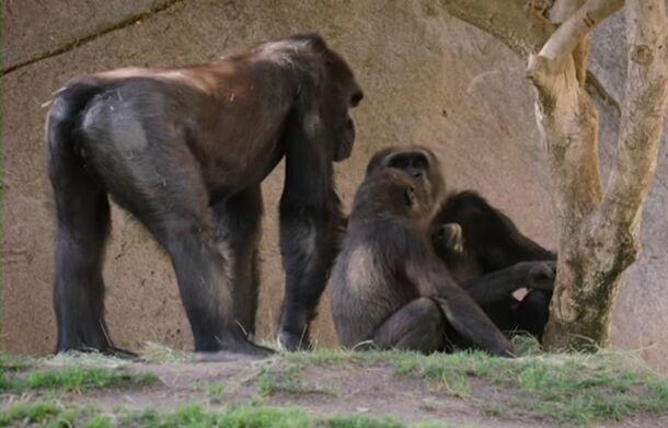 Впервые в истории коронавирус нашли у двух горилл, которые начали кашлять